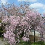 事務所前のしだれ桜